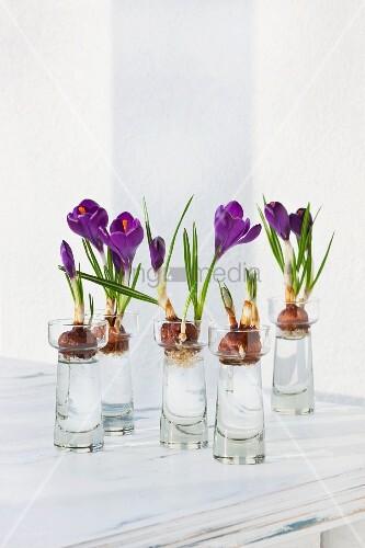 Blühende Krokusse mit Zwiebeln in kleinen Wassergläsern