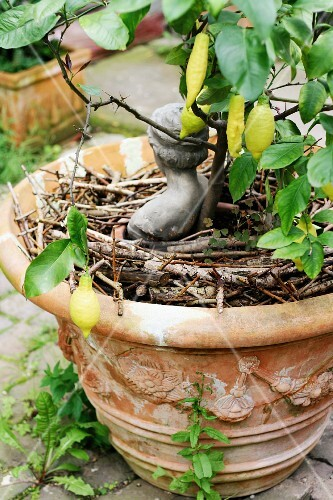 Small lemon tree in terracotta pot decorated with small bust