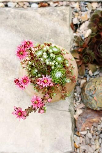 Sempervivum in terracotta pot
