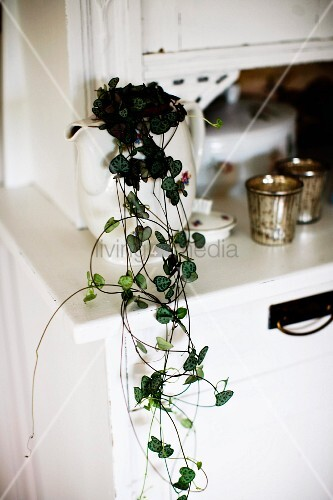Trailing plant in china jug on white dresser