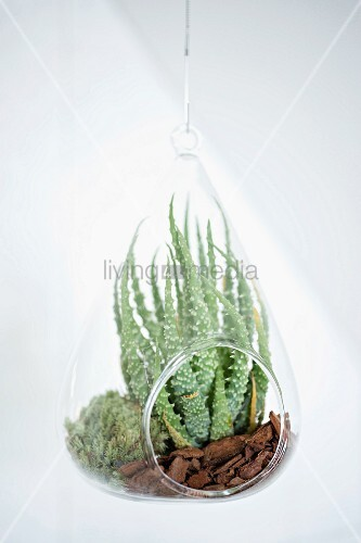 Suspended plexiglas vivarium containing succulents on bed of mulch