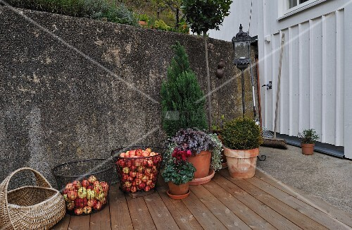 Basket of freshly picked apples and planters on wooden deck with old wall