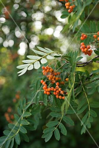 Orange berries on rowan branch