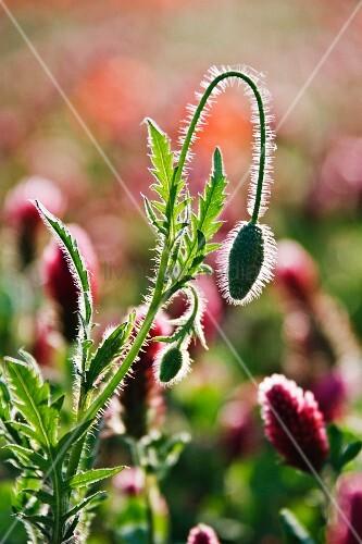 Poppy buds and wild flowers; Tuscany, Italy
