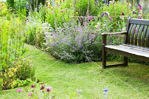 Cornflowers and cat mint in flowering garden with wooden bench on well-tended lawn