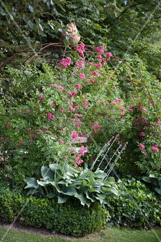 Large-leafed hostas and flowering rose climbing on metal trellis arbour over bench