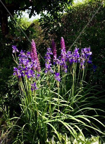 Flowering iris and lupins in summer garden