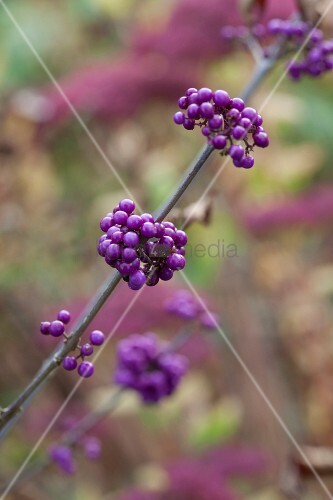 Branch of purple Callicarpa berries