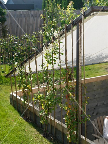 Garden with sunken terrace below awning on wooden frame with climbing plants on canes to one side