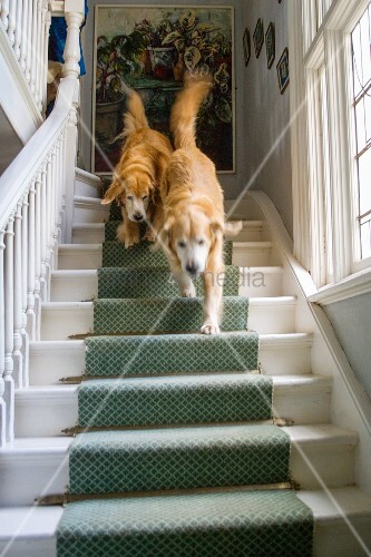 Two dogs walking down staircase