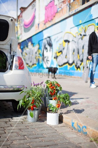 Potted tomato plants next to car next to curb