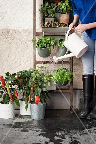 Frau giesst Gemüsepflanzen in Töpfen und auf bepflanzter Leiter