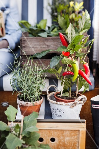 Potted chili pepper and lavender on footstool of beach chair
