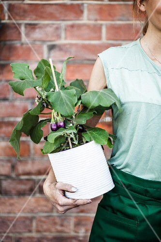 Woman holding aubergine plant planted in large tin can