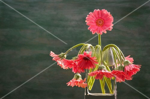 Pink gerbera daisies in a glass vase