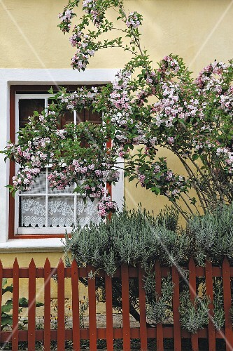 Front garden with wooden fence and pink-flowering bush adjoining house with yellow-painted facade and lattice window