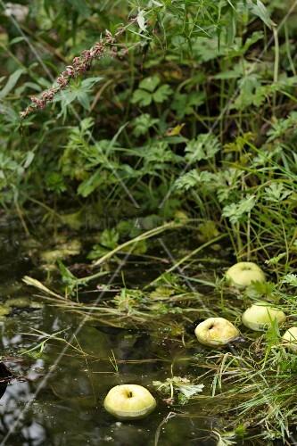 Apples floating in pond