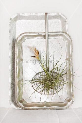 Tillandsia mit Blütenstand in einer alten Siebkelle vor silbernen Metalltabletts