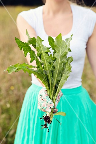 Woman wearing summery clothes and gardening gloves holding dandelion plant
