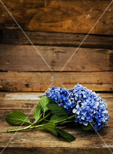 Blue hydrangea flowers on wooden table