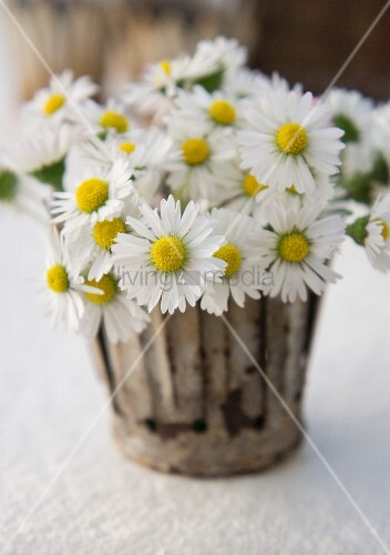 Daisies in a flower pot