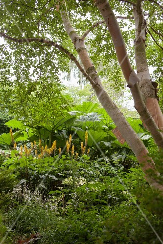 Birch trunks above Przewalski's golden ray and giant rhubarb (Gunnera tinctoria) in garden
