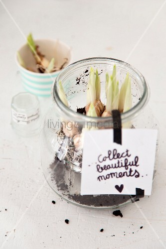 Flower bulbs planted in storage jar with motto written on label