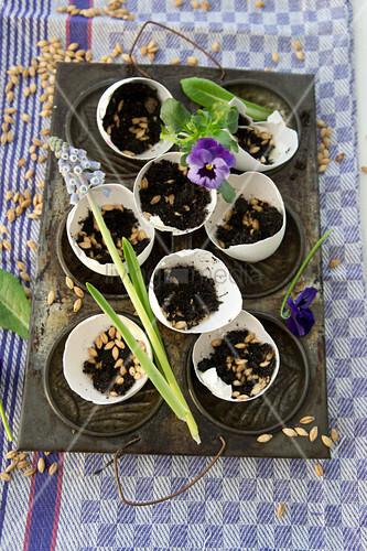 Eierschalen gefüllt mit Erde und Katzengrassamen in Backform