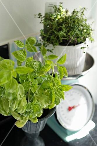 Basil plant next to thyme in white pot on vintage-style kitchen scales