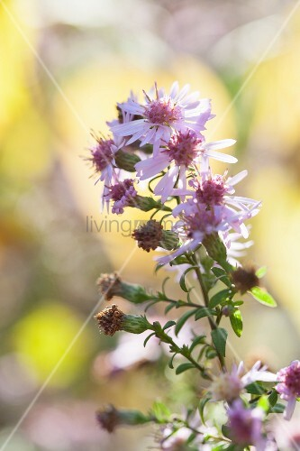 Pink autumn asters in front of blurred background