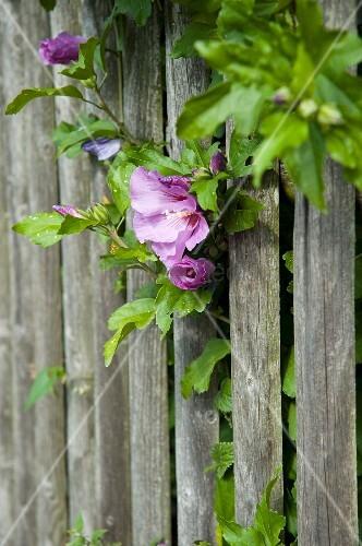 Rose mallow flowers through wooden garden fence