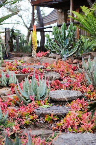 Aloes and Crassula nudicaulis in a South African garden