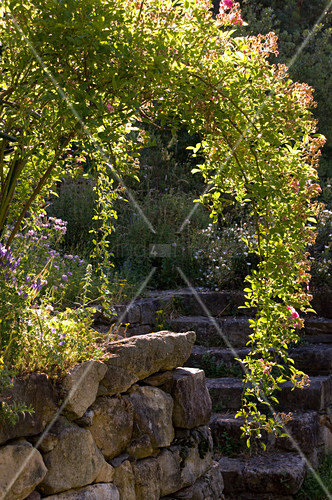 Shrub rose growing in arc on stone wall with stone steps and herb garden in background
