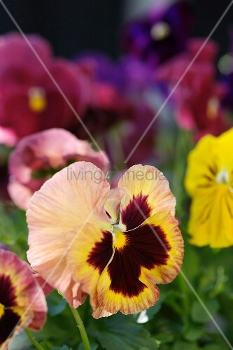Pansies of various colours
