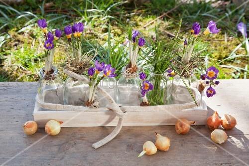 Lila Krokusse in Glasfläschchen und Holzschale