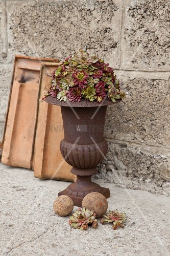 Houseleeks in classic, antique-style urn
