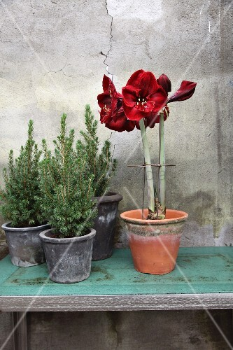 Amaryllis next to small potted conifers