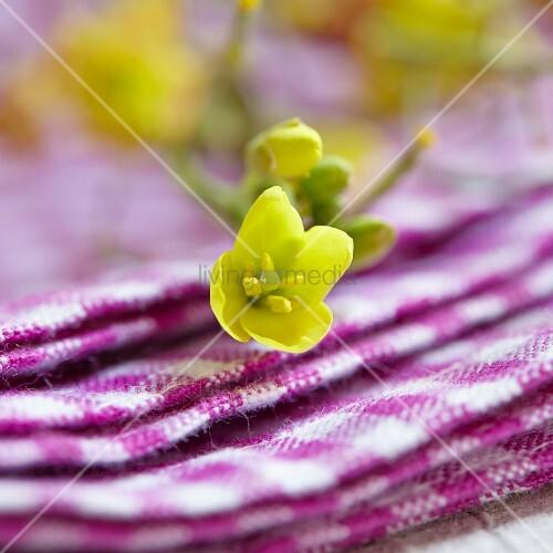 Gelbe Blüten der Schmalblättrigen Doppelsame (Diplotaxis Tenuifolia)