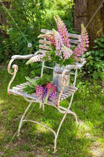 Lupins in old milk churn on chair in garden