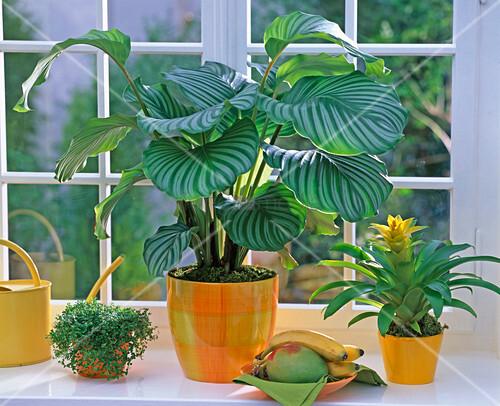 calathea orbifolia korbmarante bild kaufen 12137323 living4media. Black Bedroom Furniture Sets. Home Design Ideas