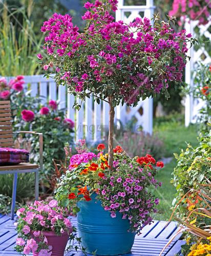 bougainvillea stamm unterpflanzt bild kaufen 12140301 living4media. Black Bedroom Furniture Sets. Home Design Ideas