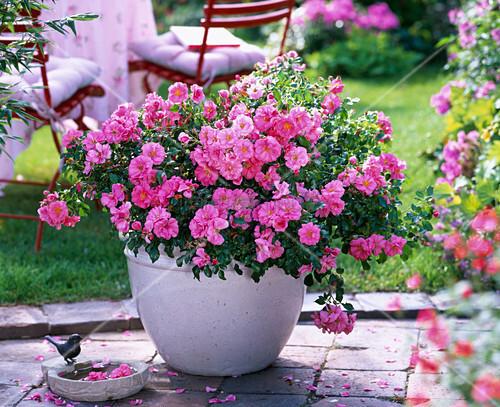 rose bad birnbach ground cover rose often flowering. Black Bedroom Furniture Sets. Home Design Ideas