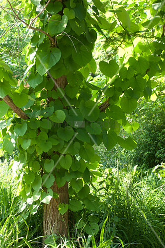Aristolochia durior (whistle) climbing up tree