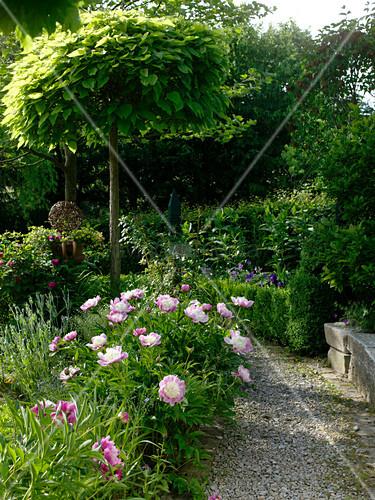 catalpa bignoides nana kugel trompetenbaum im staudenbeet bild kaufen living4media. Black Bedroom Furniture Sets. Home Design Ideas