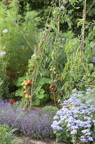 tomaten an weidenruten im gem segarten pflanzen bild kaufen living4media. Black Bedroom Furniture Sets. Home Design Ideas