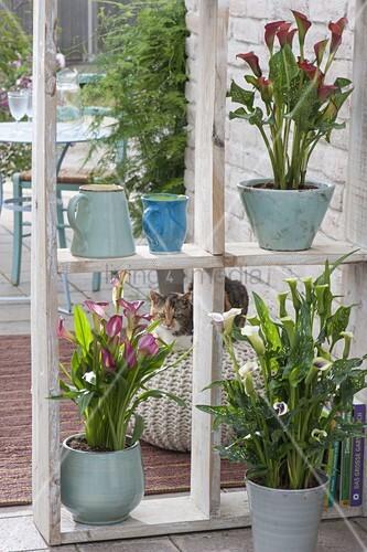 Teich Pink//violette Seerose für Brunnen Ungewöhnliche Farbe Samen Schale