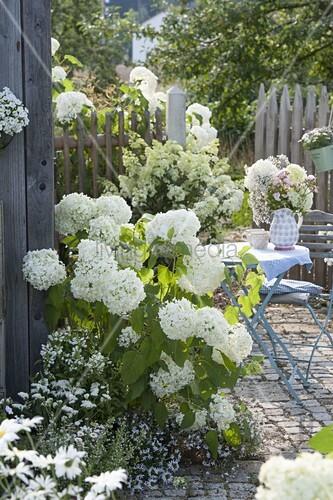 hydrangea arborescens annabelle strauch hortensie bild kaufen living4media. Black Bedroom Furniture Sets. Home Design Ideas
