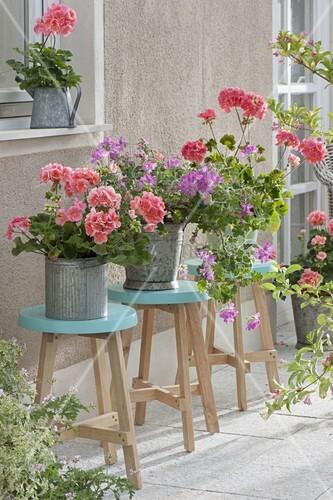 pelargonium classic helena stehende geranien und p. Black Bedroom Furniture Sets. Home Design Ideas
