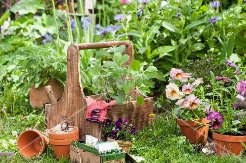 Violas, terracott pots and gardening gloves in wooden garden caddy in front of flowerbed