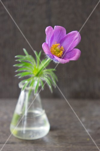 Pasque flower in glass vase